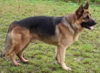 Un berger allemand mâle