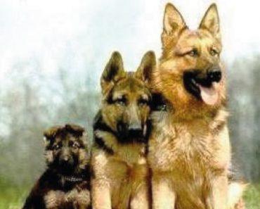 bergers allemands